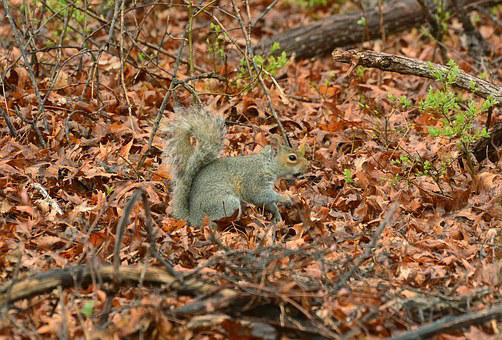 Squirrel, Tail, Animal, Nature, Mammal, Fur, Wildlife