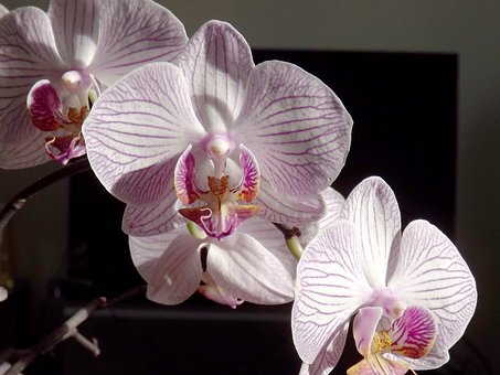 Orchid, Phalaenopsis, White, The Phalaenopsis Orchid