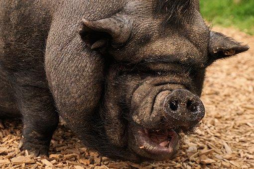 Pig, Pot Bellied Pig, Livestock, Farm, Thick, Animal