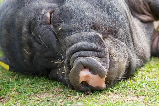 Pot Bellied Pig, Pig, Sleep, Animal, Farm, Thick