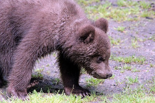 Brown Bear, Ursus Arctos, Kamchatka Bear, Bear, Animals