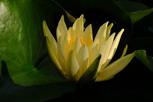 Water Lily, Water Flower, Flower, Yellow, Pond