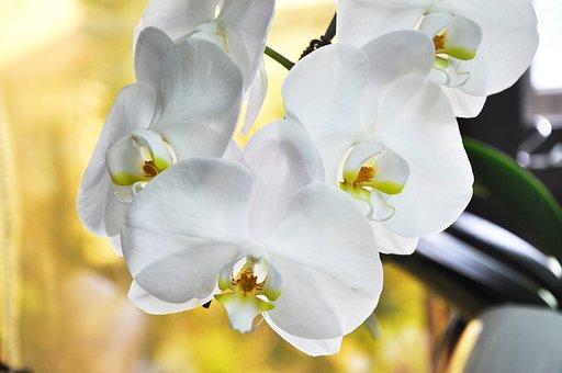 Orchid, Flower, White Flower