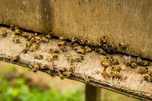 Bees, Beekeeping, Insect, Honey Bee, Worker, Beehive