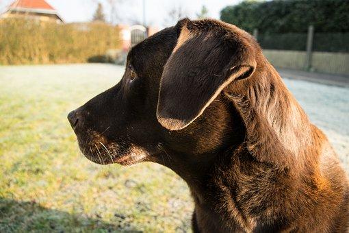 Dog, Labrador, Profile Picture, Pet, Animal, Nature