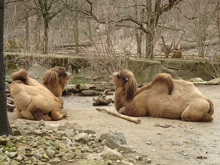 Camels, Bactrian Camels, Mammals, Animal, Wildlife