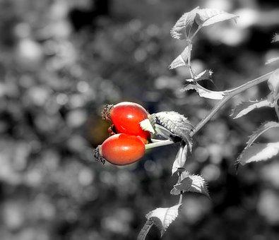 Rosehip, Berries, Red Berries, Wild, Autumn, Nature