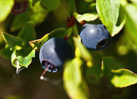 Berries, Undergrowth, Fruit, Forest Fruits, Blueberries