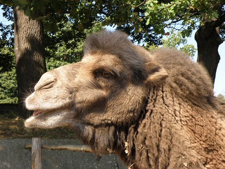 Bactrian Camel, Camel, Head