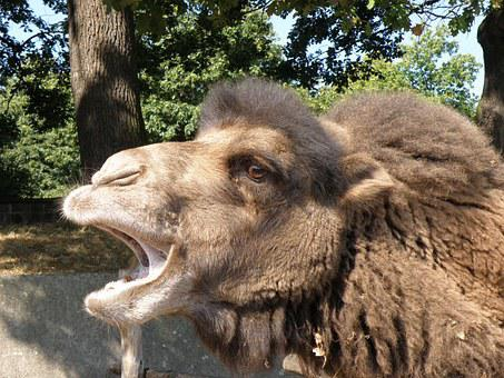 Bactrian Camel, Camel, Head, Mouth, Muzzle