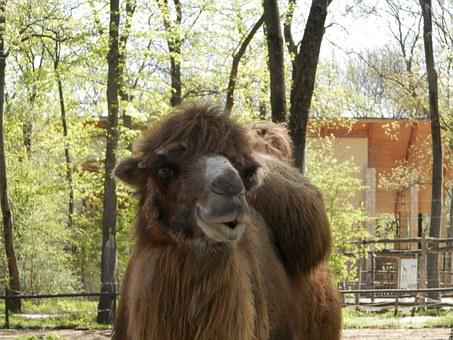 Bactrian Camel, Camel, Watch, Zoo