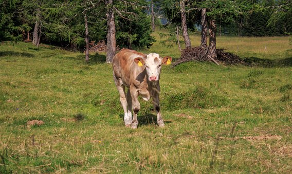 Calf, Alm, Young Animal, Cow, Beef, Cute, Agriculture