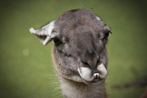Llama, Lama, Animals, Cute, Nature, Animal Life
