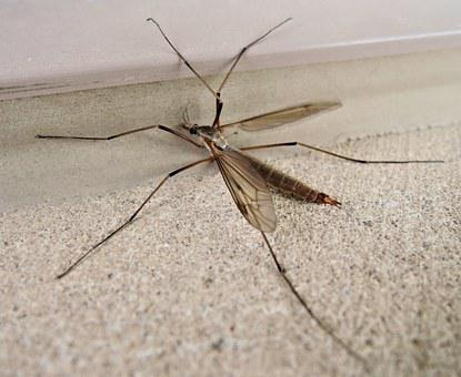 Crane Fly, Daddy Long Legs, Insect, Autumn, Canada