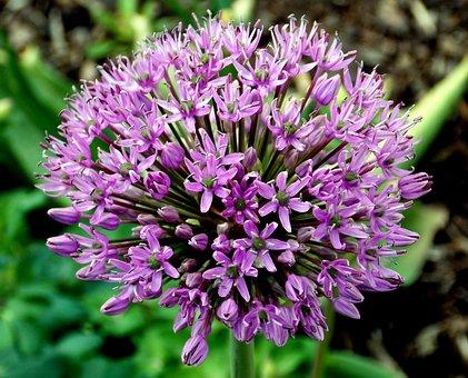 Ornamental Onion, Flower, Flower Garden, Trim Chive