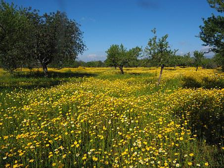 Flower Meadow, Crown Anthemideae, Glebionis Coronarian