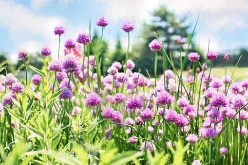 Chives, Bloom, Purple, Flowers, Herb, Garden, Plant