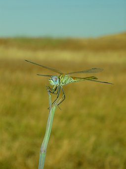 Dragonfly, Sympetrum, Insect, Flying, Libelulido