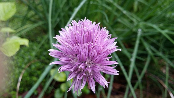 Chive, Lilac, Green, Herb, Flower, Food, Nature, Purple