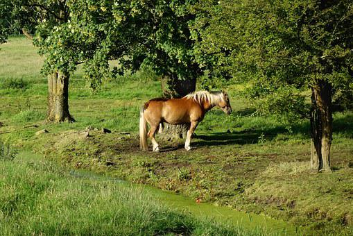 Horse, Haflinger, Breed, Mane, White Manes, Tail