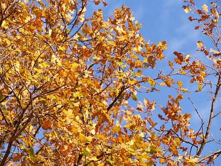 Autumn, Leaves, Oak, Golden Autumn, Golden