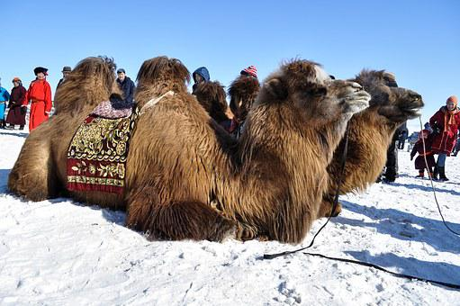 Camel, Winter, Bactrian, Mongolia, Animal, Nature, Snow