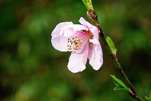 Blossom, Pink, Cherry, Spring, Cherry Blossom, Nature
