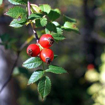 Rosehip, Red Berries, Nature, Autumn, Berry, Forest