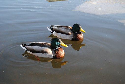 Ducks, Water, Nature, Bird, Wildlife, Animal, Wild