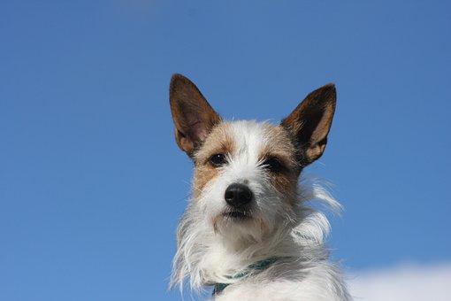 Dog, Animal, Podengo, Nature, Pets, Pequeno, Blue Sky