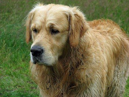 Golden Retriever, Dog, Retriever, Golden, Animal, Pet