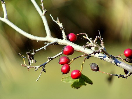 Rosehip, Berries, Wild, Fruit, Plants