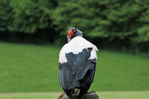 King Vulture, Vulture, Wildlife, Scavenger, Carnivore