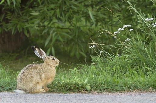 Rabbit, Brown Hare, Animal, Hay, The Hair, In The Ear