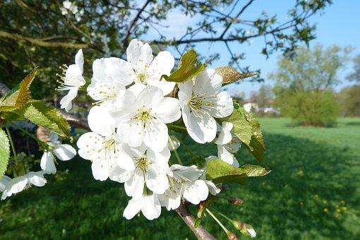 Blossom, Bloom, Cherry Blossom, Tree, Spring, Nature