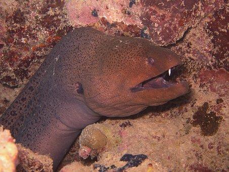 Moray, Underwater, Rotesmeer