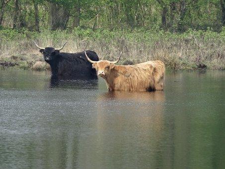 Oxen, Cows, Grazer, Bovine Species, Mammal, Ven, Pool