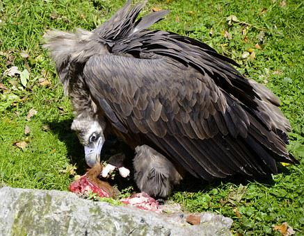 Vulture, Black Vulture, Bird Of Prey, Fresen