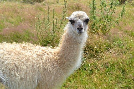Lama, Nature, White, Camelid, Domestic Animal