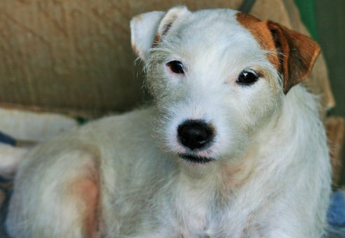 Jack Russell, Dog, White, Terrier