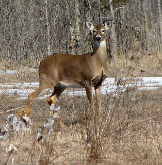 White-tailed Deer, Virginia Deer, Whitetail