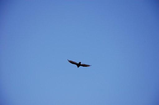 Sky, Vulture, Scavenger, Wild, Bird, Black, Wings