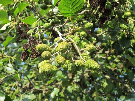 Alnus Glutinosa, Alder, Common Alder, Black Alder, Tree