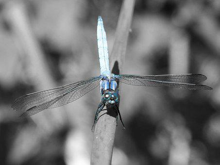 Blue Dragonfly, Stem, Wetland, Orthetrum Cancellatum