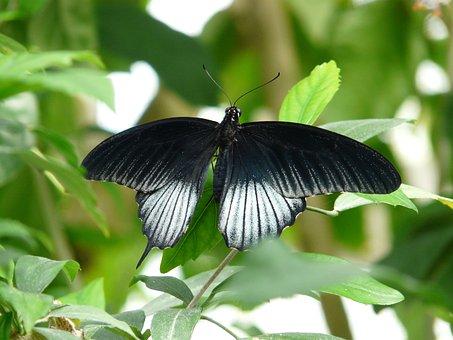 Papilio Ascalaphus, Butterfly, Black, White, Ascalaphus