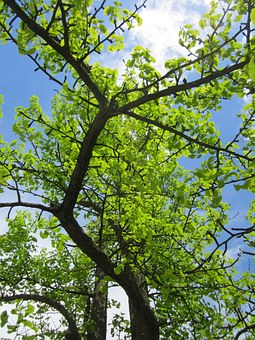 Ginkgo Biloba, Ginko, Maidenhair Tree, Tree, Branches