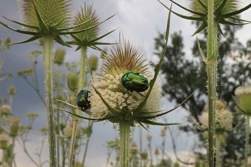 Beetle, Bug, Cutleaf, Dipsacus, Green, June, Laciniatus