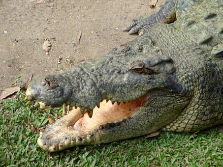 Animals, Crocodile, Foot, Tooth, Maw, Dangerous, Risk
