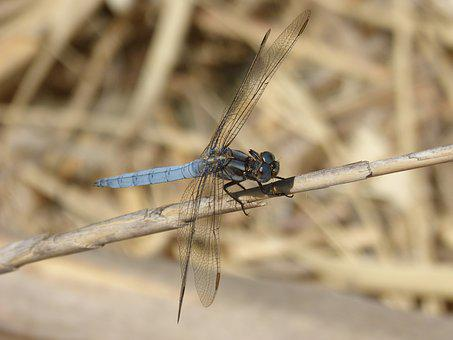 Blue Dragonfly, Stem Wetland, Orthetrum Cancellatum