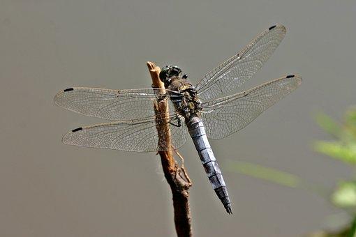 Dragonfly, Sailing Dragonfly, Orthetrum Cancellatum